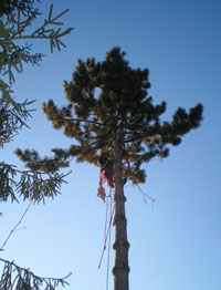 Experts at American Aerial Tree services areas east of the Genessee River - call us.