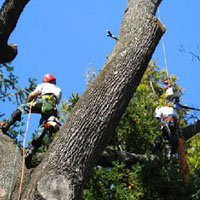 American Aerial Tree Experts removes extremely large trees.